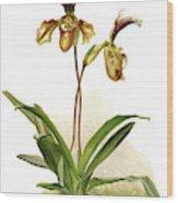 Cypripedium Hybridum Calypso, Sander Wood Print