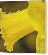 Daffodil Dewdrops Wood Print