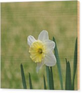 Daffodil Flower Wood Print