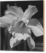 Daffodil In Black And White Wood Print