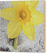 Daffodil In Spring Snow Wood Print