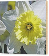Daffodil Sunshine Wood Print