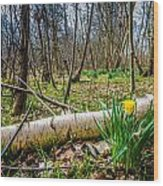 Daffodils And Birch Wood Print