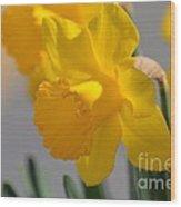 Daffodils In The Setting Sun Wood Print