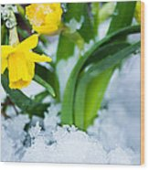 Daffodils In The Snow  Wood Print