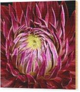 Dahlia-0006 Wood Print