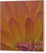 Dahlia Closeup Wood Print