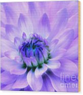 Dahlia Dream Wood Print