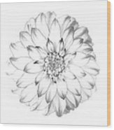 Dahlia Flower As Drawing In Black And White. Wood Print