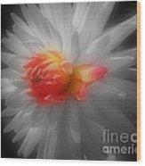 Dahlia Flower Beauty Wood Print