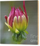Dahlia Flower Bud Wood Print