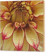 Dahlia Lady Darlene In Close Up Wood Print