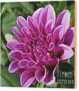 Dahlia Named Blue Bell Wood Print