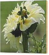Dahlia Named Kelvin Floodlight Wood Print