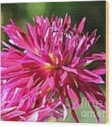 Dahlia Named Normandy Wild Willie Wood Print