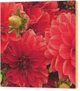 Red Dahlias  Wood Print