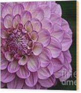 Dahlia's Outta Da Blu Wood Print