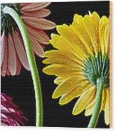 Dahlias Up-close Wood Print