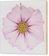 Dainty Pink Cosmos On White Background. Wood Print