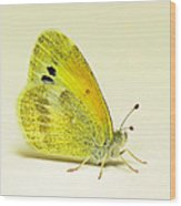 Dainty Sulphur Butterfly Wood Print