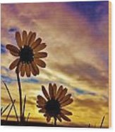 Daisies At Sundown  Wood Print