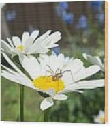 Daisies With Phalangiid Vistitor Wood Print
