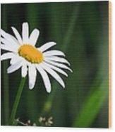 Daisy - Bellis Perennis Wood Print by Bob Orsillo