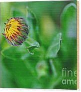 Daisy Bud Ready To Bloom Wood Print