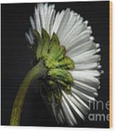 Daisy Flower Wood Print