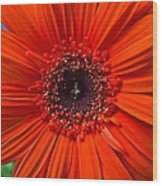 Daisy In Full Bloom Wood Print