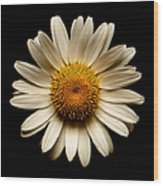 Daisy On Black Square Wood Print
