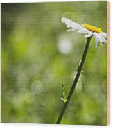 Daisy Profile Wood Print