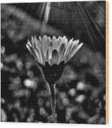 Monochrome Daisy Under Sun Wood Print