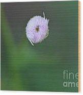 Daisy Weed Bud Series Photo C Wood Print