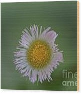 Daisy Weed Series Photo A Wood Print