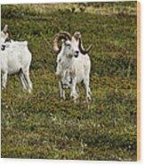 Dall Rams On Alert Wood Print