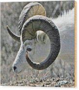 Dall Sheep Wood Print
