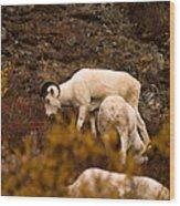 Dall Sheep Grazing Wood Print