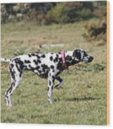 Dalmation Pretending To Be A Pointer Wood Print