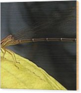 Damselfly With Gnat On Hosta Leaf Wood Print