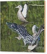 Dancing Loons Wood Print