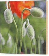 Dancing Orange Poppy Flower Pods Wood Print
