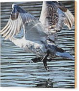 Dancing Swan Wood Print