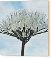 Dandelion After Rain Wood Print