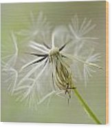 Dandelion Alone Wood Print