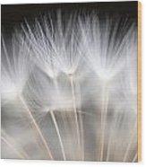 Dandelion Backlit Close Up Wood Print