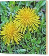 Dandelion Flowers Are Beautiful. Wood Print