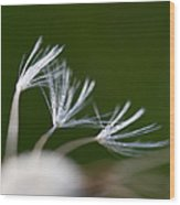 Dandelion Seeds Wood Print