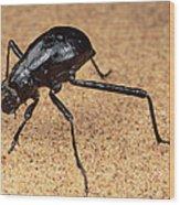 Darkling Beetle Bends Down To Drink Dew Wood Print