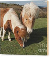 Dartmoor Ponies  Wood Print